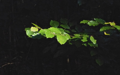 Blätterfunkeln
