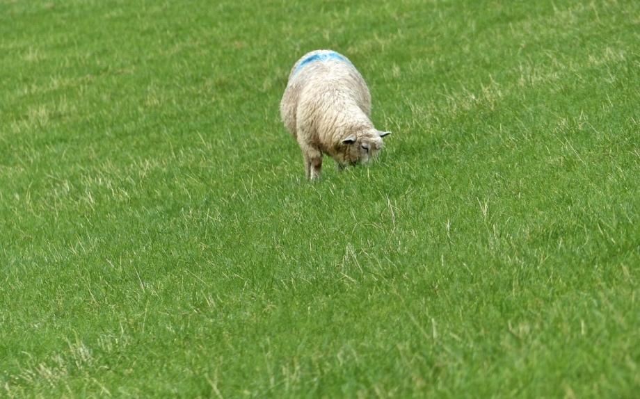 Schaf allein