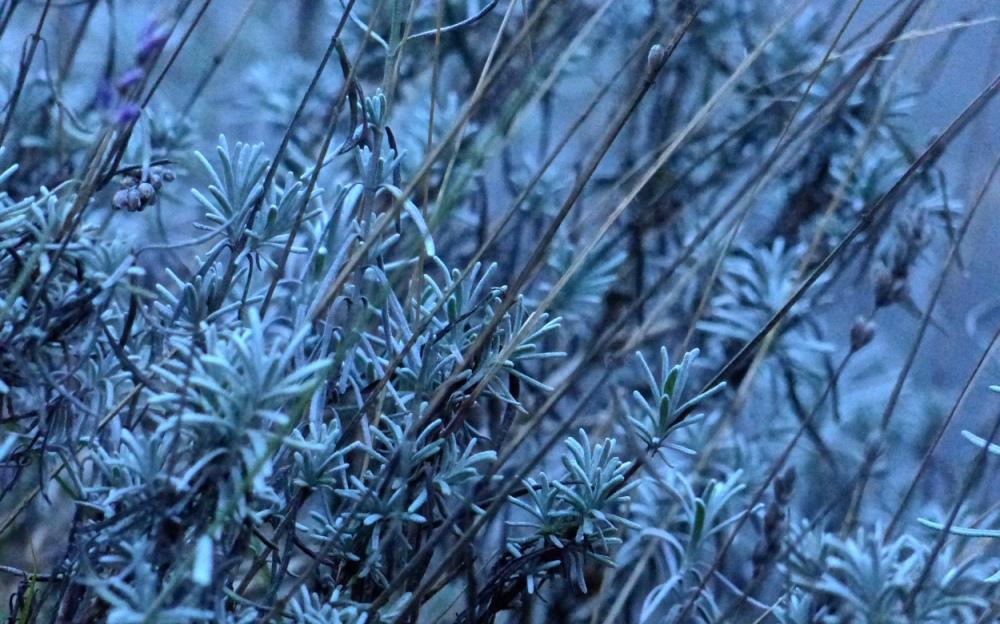 Winterlavendel