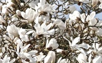 Magnolientraum