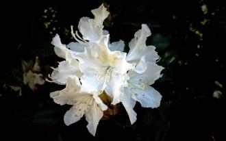 Königsblüte