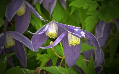 Hängende Blüten