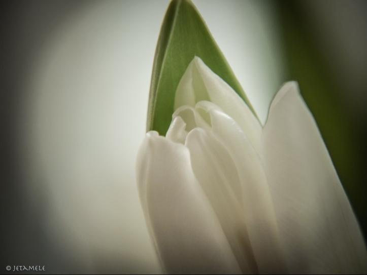 Tulpenspitzen