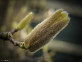 Magnolienentfaltung