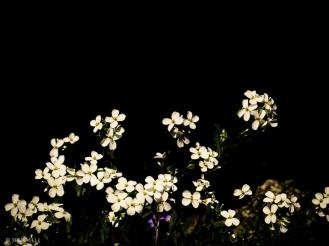 Blüten vor schwarz