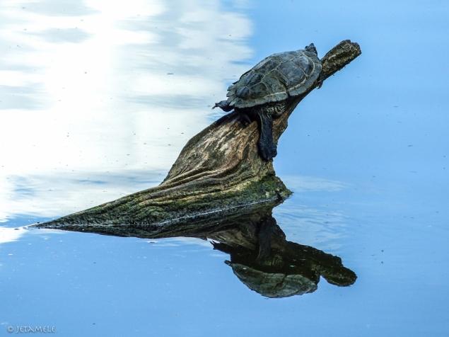 Schildkröte mal zwei